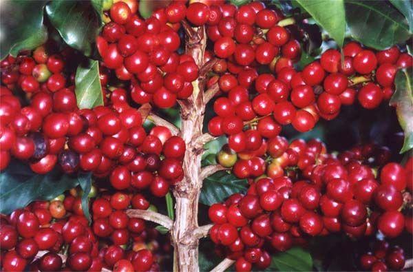Café Coffea arabica