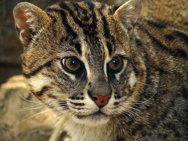 Endangered animal iriomote wild cat