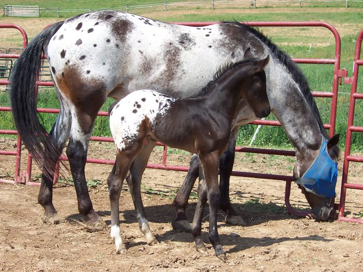 "Appaloosa mare and foal- mare has ""varnish marks"", a roan patttern, and baby is a spotted blanket~~"