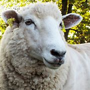 """The Coopworth Breed -- American Coopworth Registry.  Strong choice for keeping the grass """"mowed"""" and providing good spinning wool."""