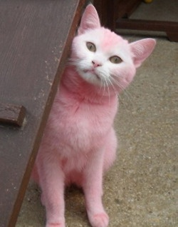 Pink puss!Kitty Meowwww, Pink Kitty, Perfect Pink, Colors Animal, Pretty Cat, Cat ᵔᴥᵔ, Beetroot Juice, Cat Stuff, Pink Cat