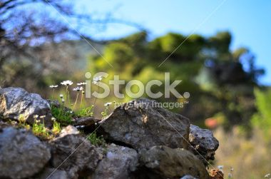 white chamomile and rocks Royalty Free Stock Photo