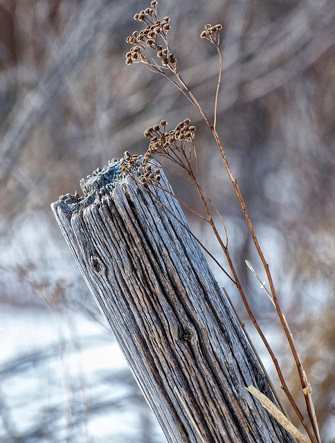 Two of my favorite things...old fence posts and dried weeds...