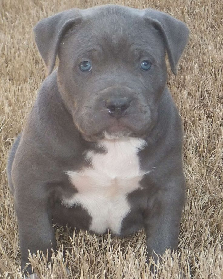 Blue Pitbull Puppies | Blue Pitbull Puppies Blue Nose Pit Bull Puppy