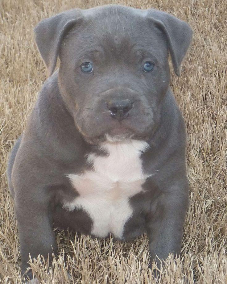 Blue Pitbull Puppies | Blue Pitbull Puppies Blue Nose Pit Bull Puppy