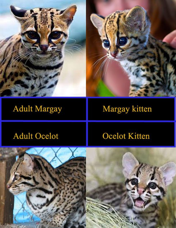 There is a lot of mis-information on the internet about which cat is what in photographs. This is the actual, correct info on the appearance of an Ocelot, Ocelot kitten vs. Margay's and Margay kits and their corresponding kitten pics