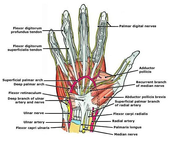 Hand vessel hand tendon hand nerve anatomy