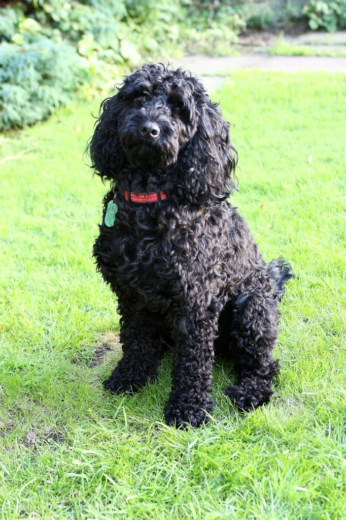 Black Cockapoo ,just like our lovely Mr Ollie!