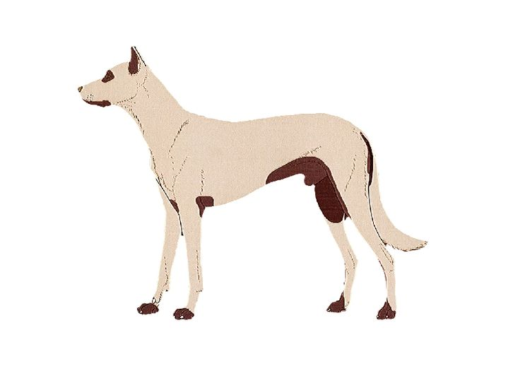 Atopie hond Dermatologie bij hond Jeuk