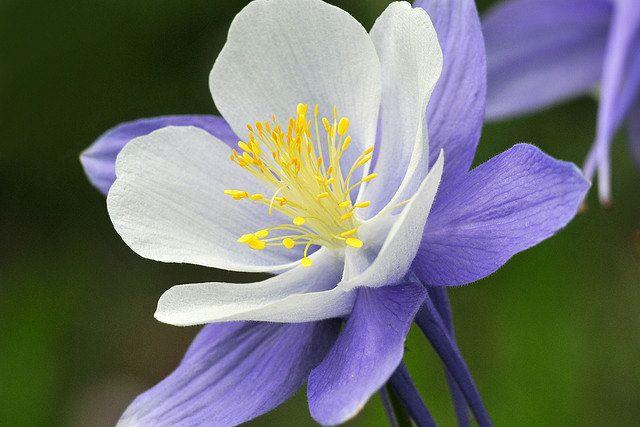 Aquilegia caerulea o también conocida como Colorado Columbine es una especie de planta de flores perteneciente a la familia Ranunculaceae. Son nativas de las Montañas Rocosas, desde el sur de Montana a Nuevo México y oeste de Idaho y Arizona.  Es una planta herbácea perenne que alcanza los 20-60 cm de altura. Las flores son de muy variable color, desde el azul pálido al blanco, amarillo pálido o rosado; es muy usual que las flores sean bicolor con los sépalos diferentes de los pétalos.