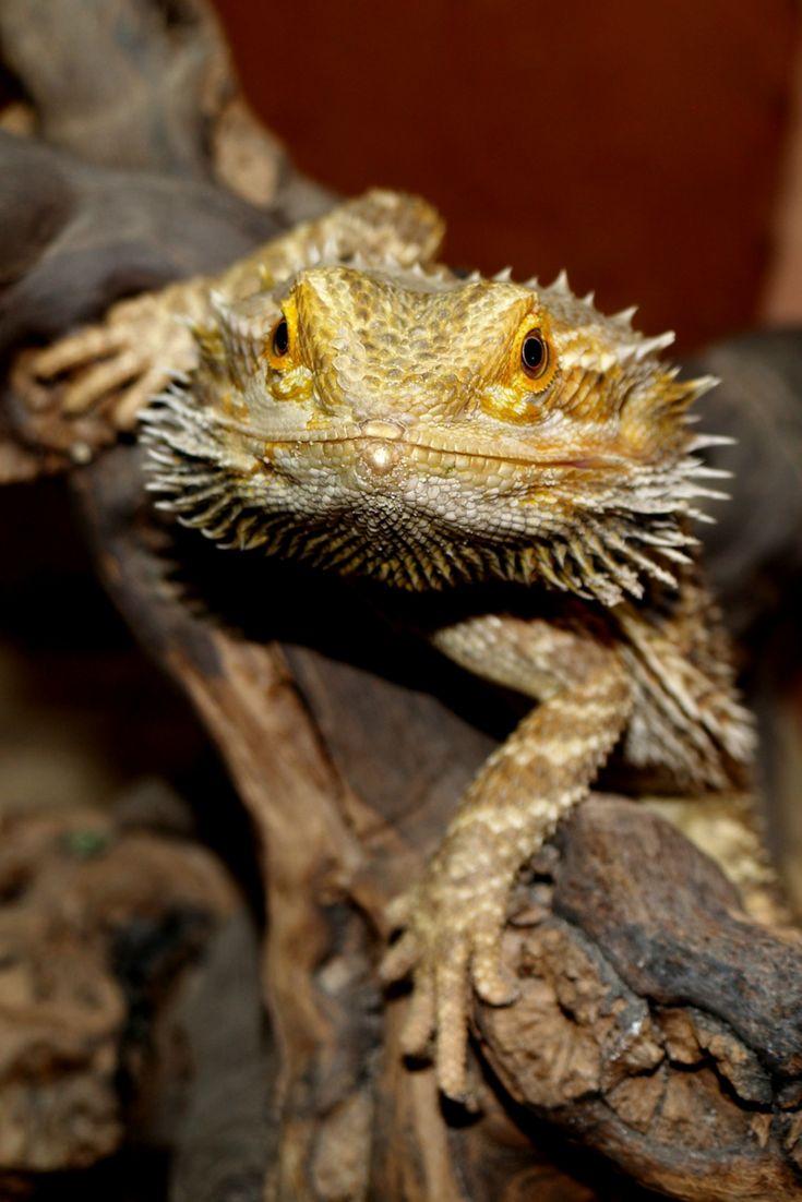 Bearded dragons make great reptile beginner pets bearded
