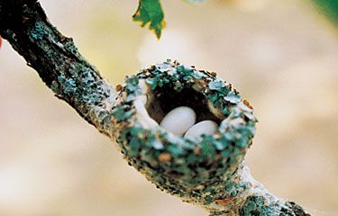 hummingbird nest  (1 1/2 inches in diameter)  Must find one this spring to observe! :)
