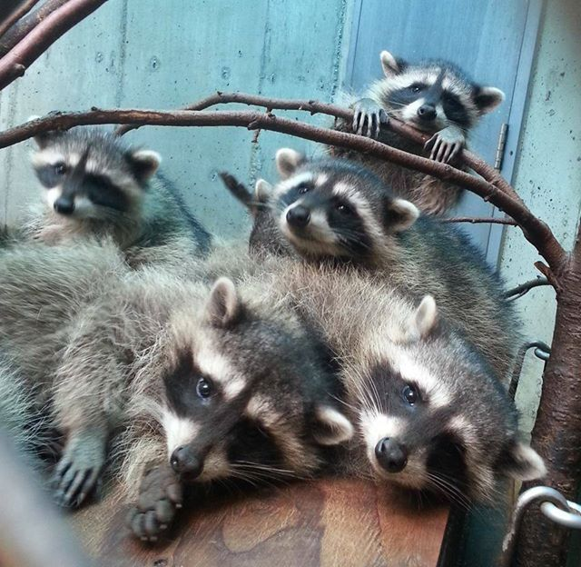 animals raccoons weasels friends - photo #2