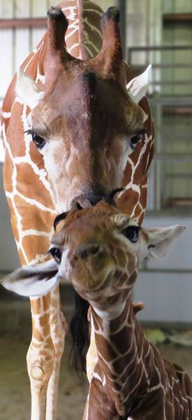 Jacksonville Zoo and Gardens welcomes baby giraffe