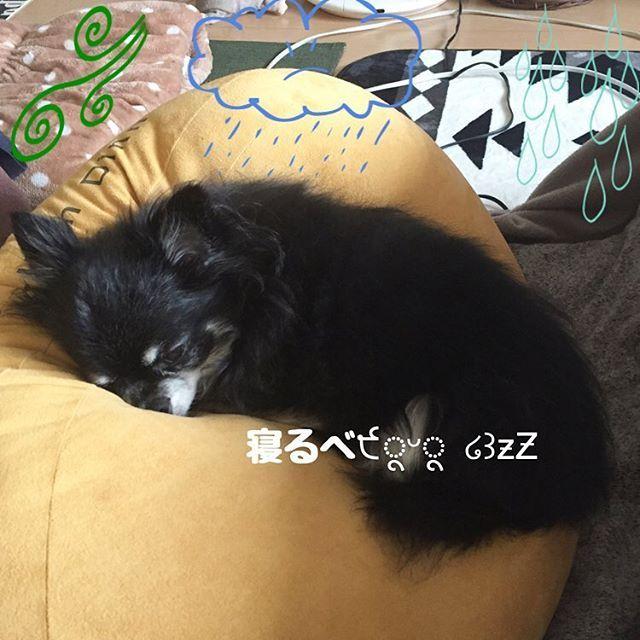 2017.10.29 Տυᵑ. ベストバランス◟(◡ູ̈)◞ ⋆⋆⋆ #chihuahua#dog#family#happylife#instadog#love#愛犬#犬#犬バカ部#癒し#チワワ部#親バカ#僧帽弁閉鎖不全症#ブラックタン#シニア犬#可愛い#チワワ#家族#❤️迷子犬の掲示板応援団#12歳#pet#cute#doglife#doglove#dogstagram#petlife#petstagram#ワンコなしでは生きて行けません会#ロングコートチワワ
