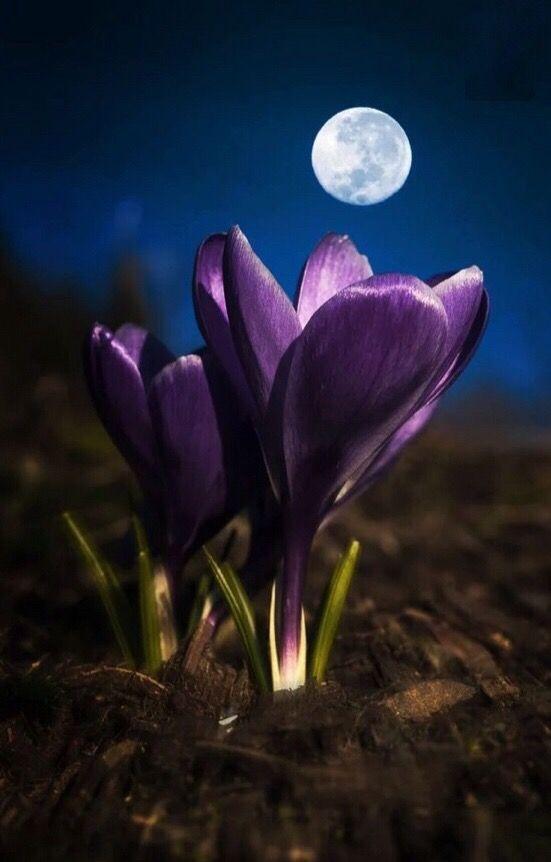 Лунный цветок в картинках