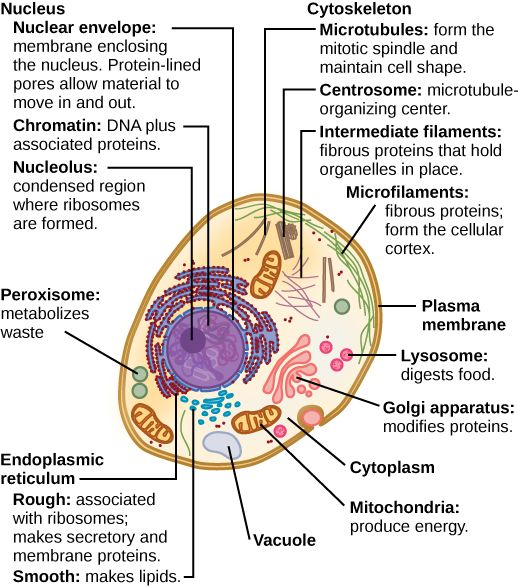 25+ best Typical plant cell ideas on Pinterest