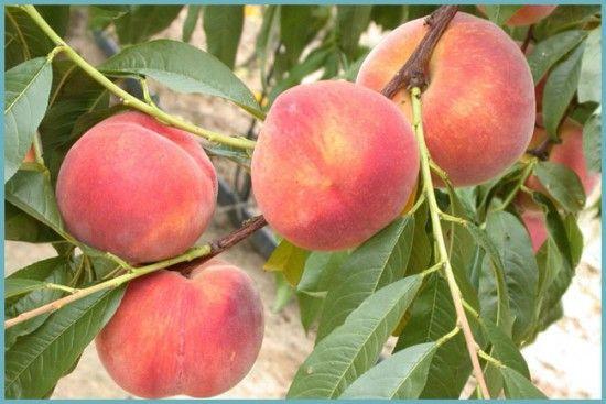 сорта персика