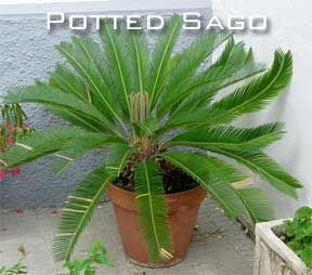 The sago palm tree is a plant for those who would love to see a historical touch added to their garden, or landscape. One of the most primitive plants – cycads – is the Cycas revoluta whose origin has been traced way back to the Mesozoic era. Cycas revoluta, known as the sago cycad, is …