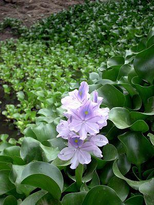 """#凤眼蓝 #Dickstielige_Wasserhyazinthe (Eichhornia crassipes) """"Die Dickstielige Wasserhyazinthe (Eichhornia crassipes) ist eine ausdauernde und freischwimmende Wasserpflanze aus der Familie der Wasserhyazinthengewächse (Pontederiaceae). """" #invasive_Art #Neochetina_eichhorniae (Rüsselkäfer)"""