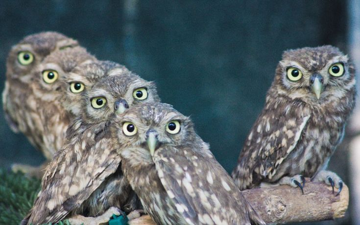 kaleidoscope of little owl eyes