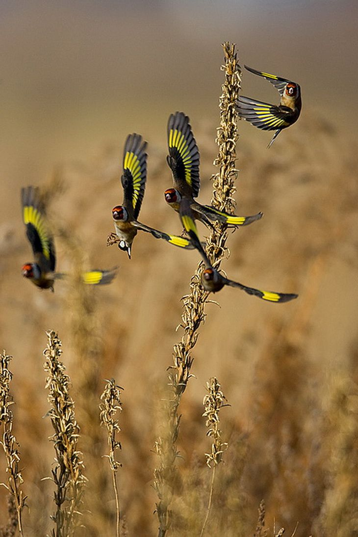 The European Goldfinch or Goldfinch (Carduelis carduelis), is a small passerine bird in the finch family.