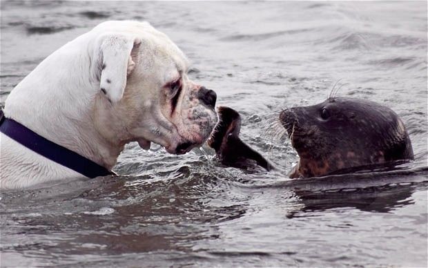 Seal swims to rescue of drowning dog. This is so sweet!