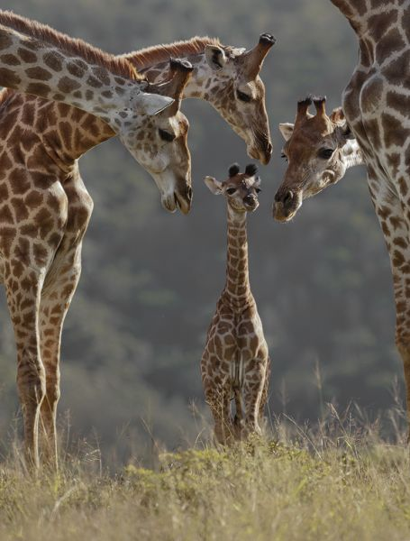 giraffes :): Little One, Stands Tall, Funny Pictures, Baby Giraffes, Baby Animal, The Young One, New Baby, The Block, Families Portraits