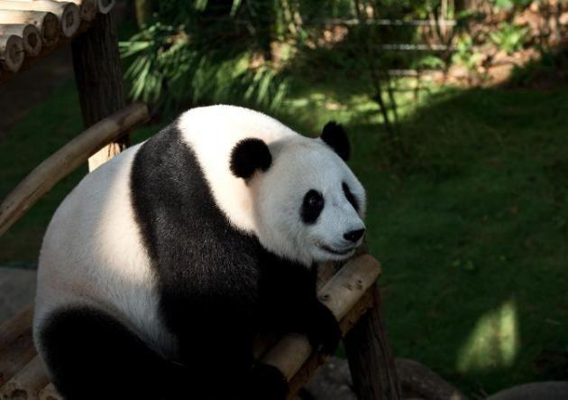 Feng-Yi, uno de los dos pandas gigantes en préstamo de China en el Complejo Gigante de Pandas del zoológico nacional de Kuala Lumpur, el 25 de junio de 2014 #Encautiverio