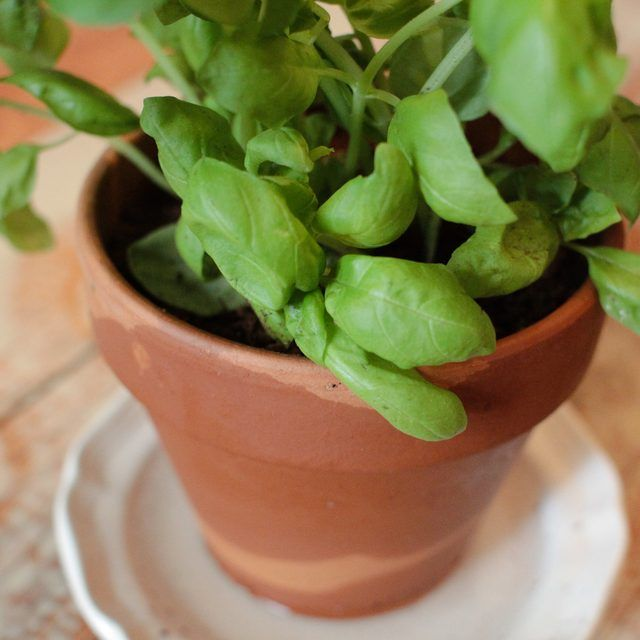 how to save a dying basil plant in a pot plant pots basil and basil plant. Black Bedroom Furniture Sets. Home Design Ideas