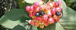 Cuidados de la planta Viburnum lantana, Viburno o Morrionera.