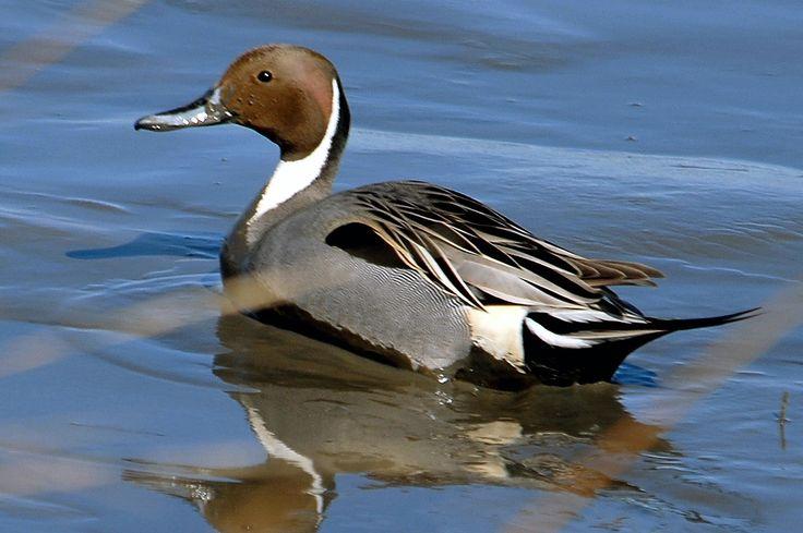 http://web4.audubon.org/news/pressroom/cbid/Hi_Rez_images/Northern_Pintail_Howard_B_Eskin.jpg