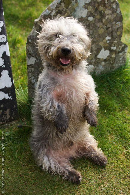 1000  images about glen of imaal terrier on pinterest