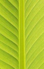 ฺBanana Leaves stock photo