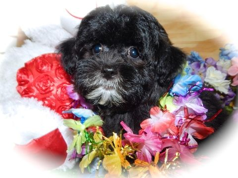 Shih Tzu puppy for sale in HAMMOND, IN. ADN-31764 on PuppyFinder.com Gender: Male. Age: 10 Weeks Old