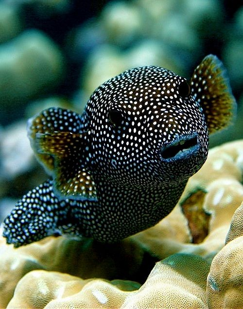 Arothron meleagris, commonly known as the guineafowl puffer or golden puffer, is a pufferfish from the Indo-Pacific, and Eastern Pacific. It is occasionally harvested for the aquarium trade. It reaches 50 cm in length. Also found in a golden form.