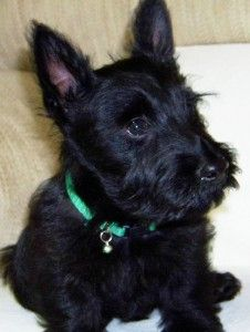 baby scottish terrier 17 best ideas about scottish terrier puppy on pinterest 9333