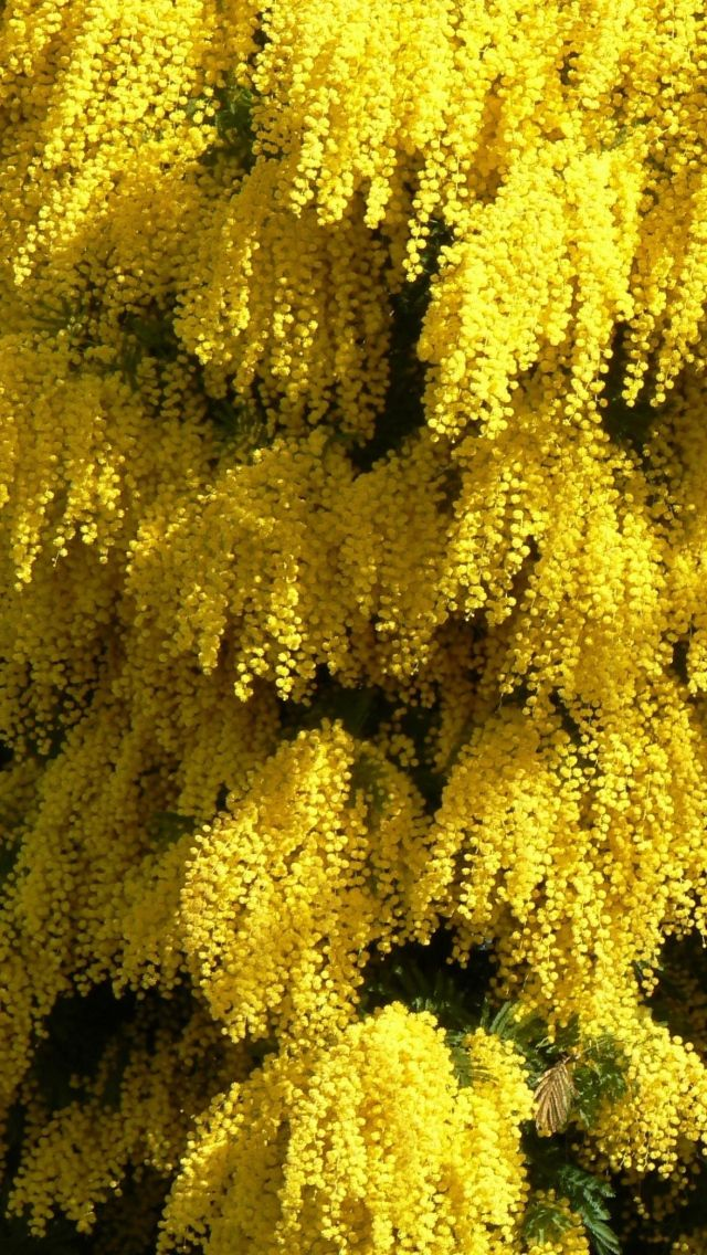 Acacia dealbata (known as silver wattle, blue wattle or mimosa) is a species of acacia, native to southeastern Australia in New South Wales, Victoria, Tasmania, and the Australian Capital Territory and widely introduced in Mediterranean, warm temperate, and highland tropical landscapes, a fast-growing evergreen tree or shrub growing up to 30 m tall
