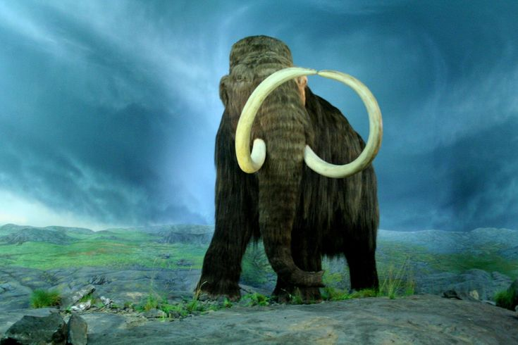 Mammoth is any species of the extinct genus Mammuthus, proboscideans.