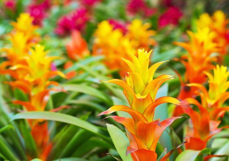 Bromeliads bromeliads shade plants tropical foliage
