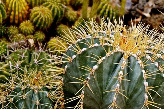 Cacti Garden Cactus Photography Succulent by JenWatsonPhotography, $14.00