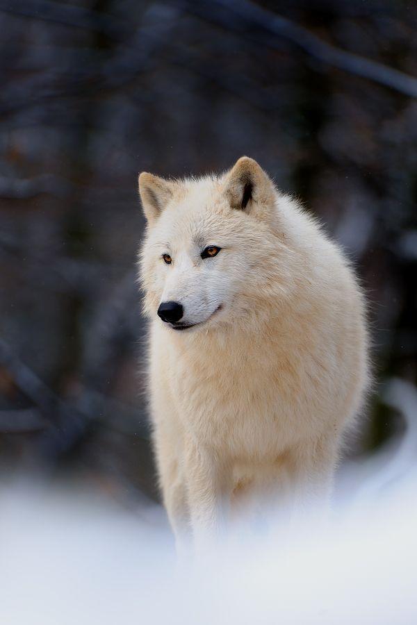 Arctic Wolf by Jaromír Kadeřábek