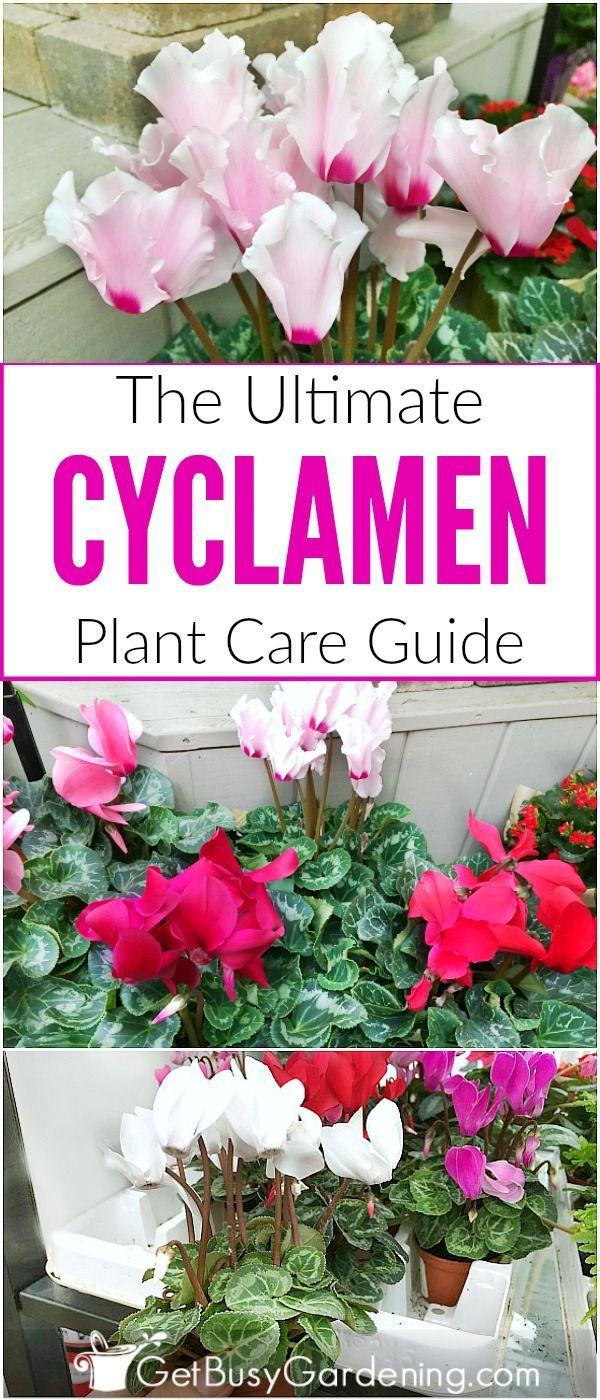 Cyclamen Plant Care Growing Tips Cutting Planting: Cyclamen Plant Care Guide: How To Take Care Of A Cyclamen