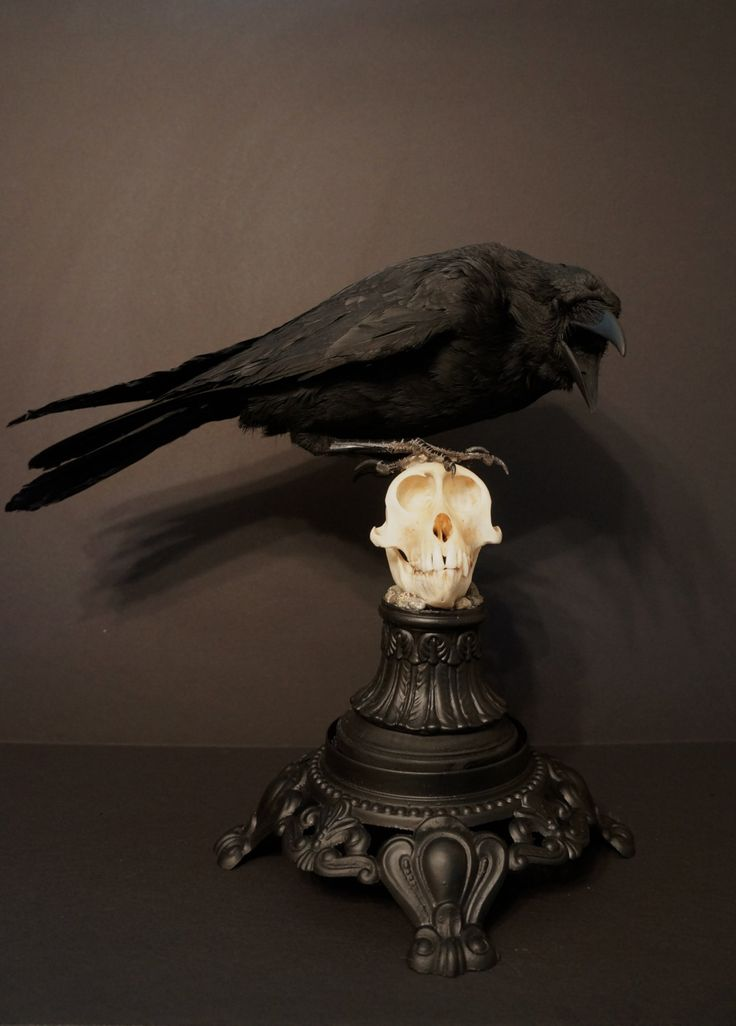 madamecuratrix:  Fantastic taxidermy raven perched on monkey skull by Grimm Relics on Etsy.