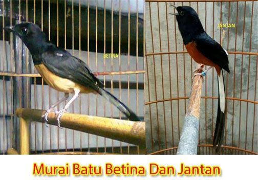 Dari Berbagai Jenis Burung Yang Ada Di Dunia Burung Kicau Miliki Peminat Yang Cukup Tinggi Burung Murai Batu Merupakan Jenis Burung Kica Di 2020 Murai Betina Burung
