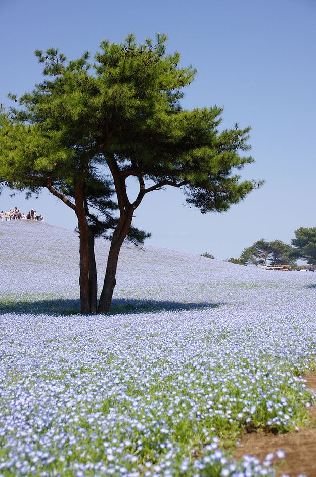 """At the Hitachi Seaside Park, near the Ajigaura Beach in Japan, you can experience a mix of sky and earth that creates quite a blended horizon. The spectacular blooming period is called """"Nemophilia Harmony,"""" after the flowers' blue hue. Bonus photos of the other colorful hills of the park at the bottom."""