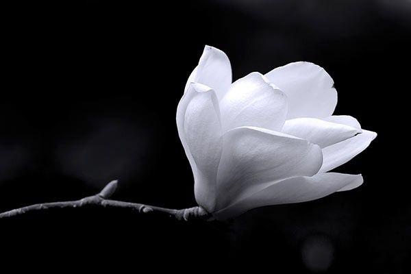 tableau fleur Magnolia noir et blanc