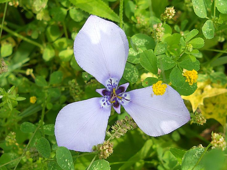 Plantas de Lujan (Buenos Aires) (G - H): Herbertia lahue var. amoena