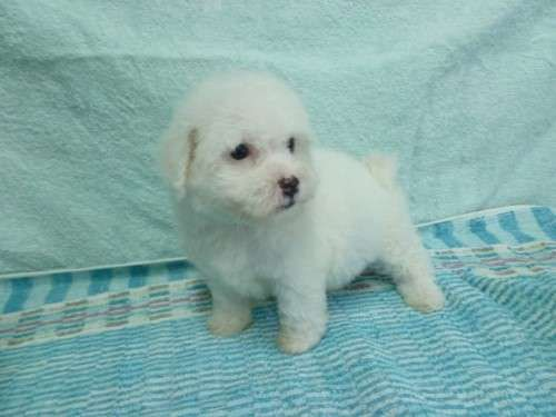 I am a registered breeder with DogsNSW (Royal NSW Canine Council) . My registration number is 2100000074. I have a litter of puppies born on the 5th October,one male and one female available. They will be ready to go on the 22nd November . Puppieshave been wormed every two weeks from birth, vaccinated, microchipped and vet checked - https://www.pups4sale.com.au/dog-breed/421/Bichon-Frise.html