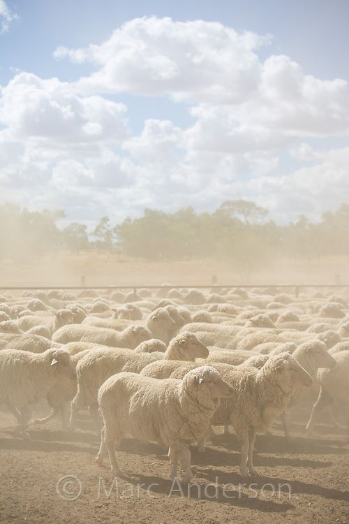 Herd of merino sheep on dry, dusty ground at a sheep station in western Queensland, Australia | Marc Anderson